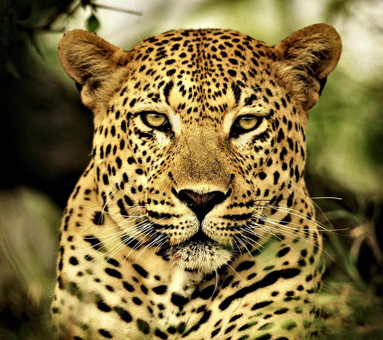 http://4.bp.blogspot.com/-y4dpnoAy_Oc/UaK1xIDoRpI/AAAAAAAARxA/-iKmMWyGDaQ/s1600/leopard_by_RockFenixCore.jpg