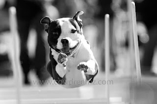 black and white dog running in mid air