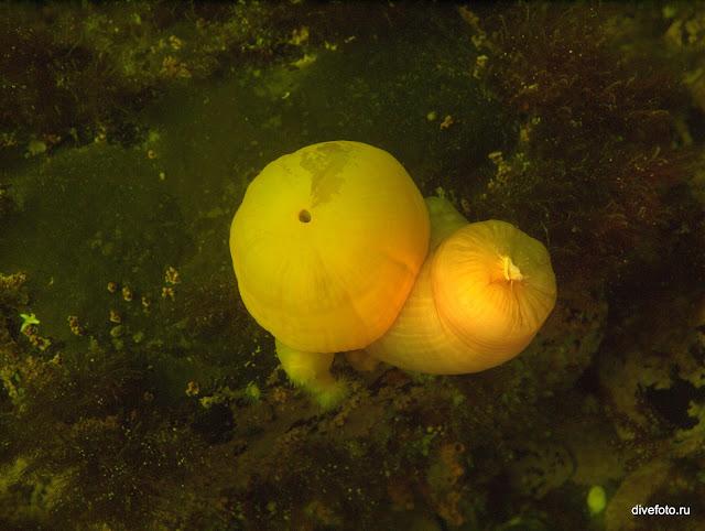 Спящие актинии Белое море