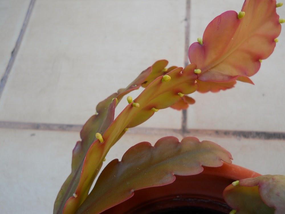 cactus de brasil