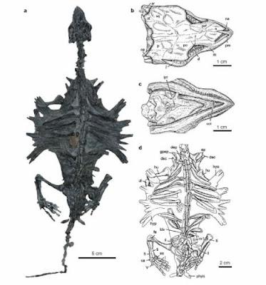 esqueleto de Odontochelys