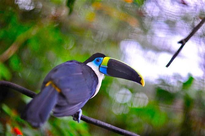 Cipactli Organización Ecológica y Sustentable : Tucán del Amazonas