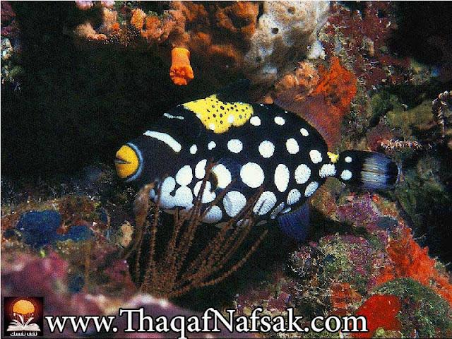 أجمل 10 أسماك ملونة في عالم البحار '' بالصور '' 7.jpg
