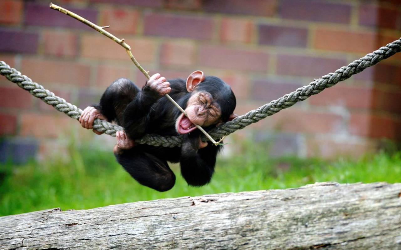 http://4.bp.blogspot.com/-y5D4RfZhwqQ/TVvDpQYiP0I/AAAAAAAAISg/O4F7o4I7k9c/s1600/Chimpanzee+pictures+%25283%2529.jpg