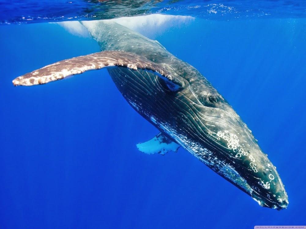 caza de ballenas en la anartida es prohibida