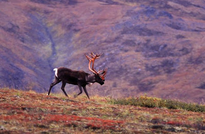 Denali National Park Alaska-Animals