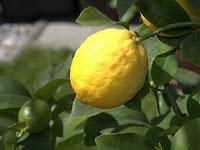 7 Manfaat Lemon Untuk Kesehatan dan Kecantikan