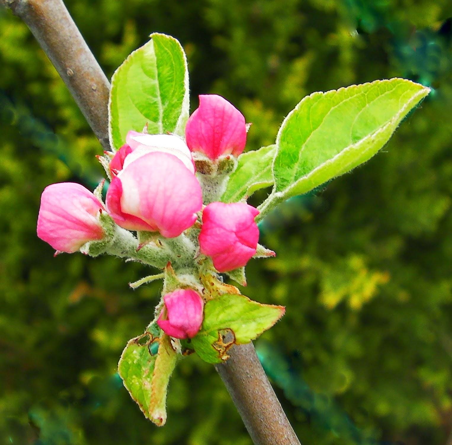 Les secrets de la taille et de la greffe des arbres - Taille des hortensias fleurs ...