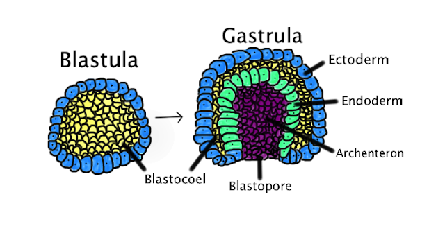 gastrula blastula