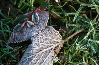 höstlöv i gräs, med frost. foto: Reb Dutius
