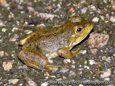 American Bullfrog (Lithobates catesbeiana)