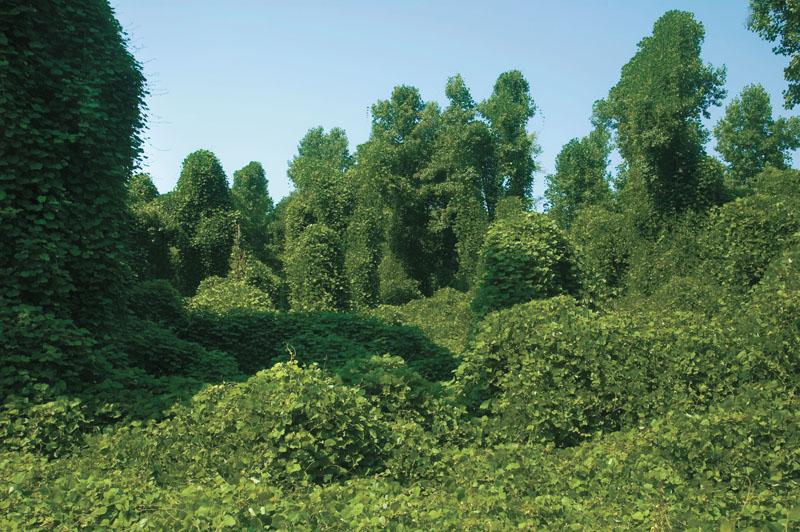 Kudzu plant - photo#11