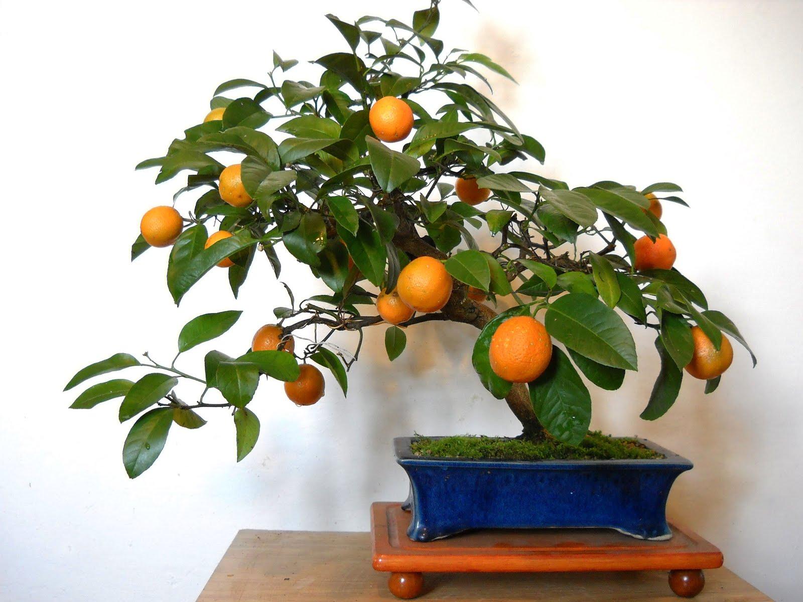 Chin Bonsai Citrus Meyeri Fructificacin