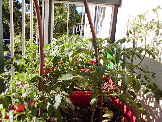 Tomato Canopy