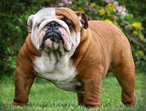 Imagenes de perros buldog - Imagui