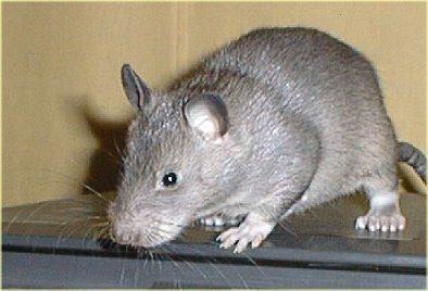 Trik dan Cara Mengusir Tikus Secara Alami