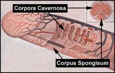 cara memperbesar venis cara memperbesar alat vital pria tanpa obat