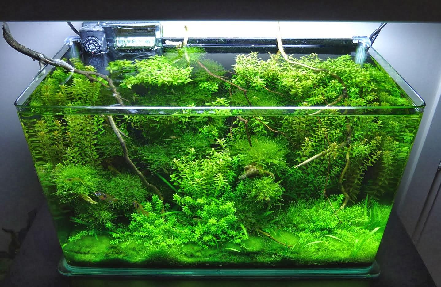 Lady shubunkin plantas naturales y goldfish for Peces artificiales para acuarios