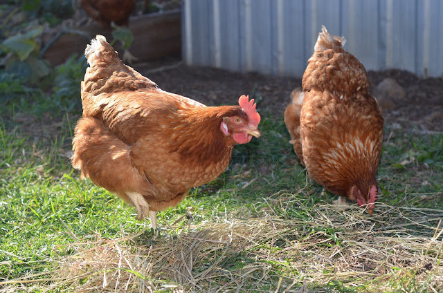 The girls: Isa brown chickens