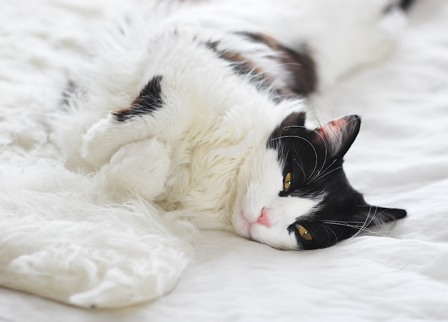 Tuxedo Cat Pet portrait