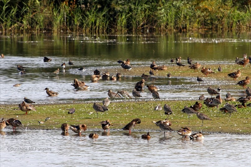 Curlews, ducks and plovers on the Altmühlsee in Bavaria