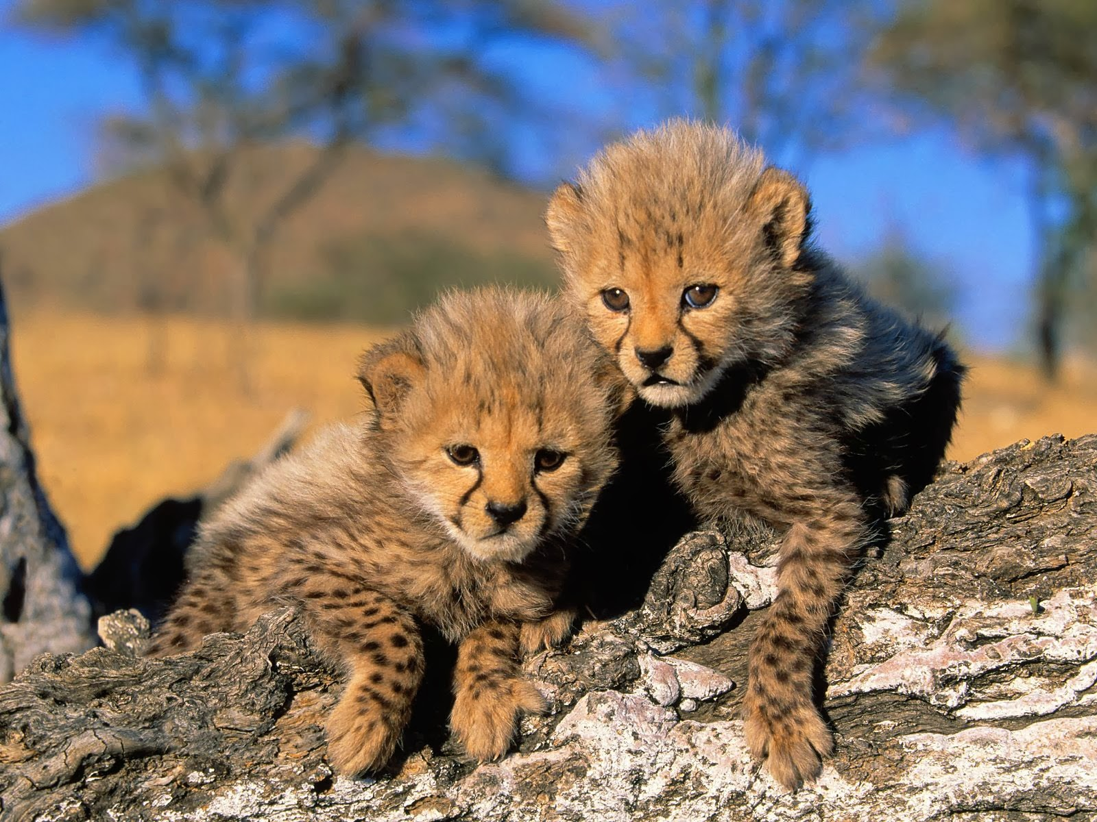 TWO Baby Africa Cheetah
