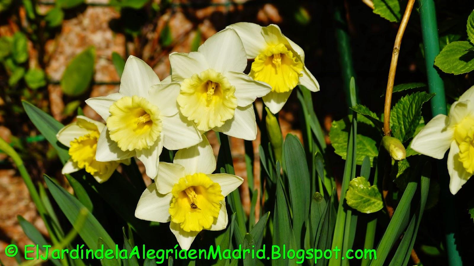 El jardn de la alegra Plantando bulbos de narcisos y Allium