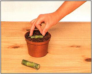 Можно поставить черенки вертикально, но обычно их помещают горизонтально, вдавив нижнюю половинку в почву, но так, чтобы пазушная почка была направлена вверх