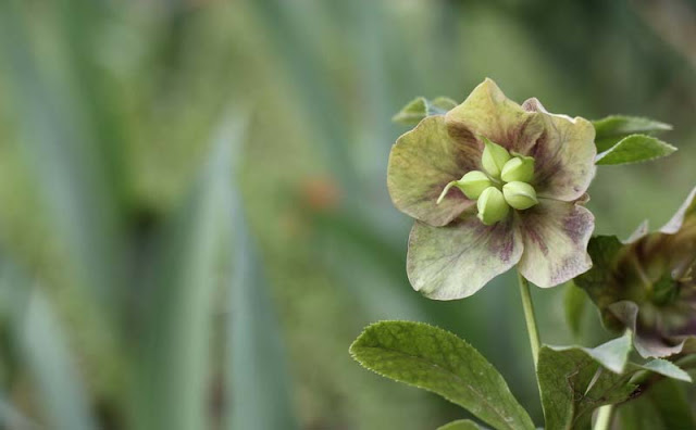 Lenten Rose Flowers