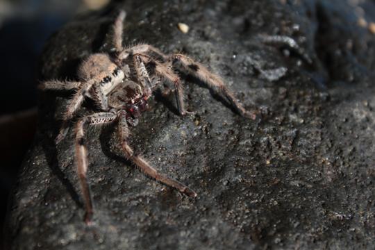 Big spider in Mauritius