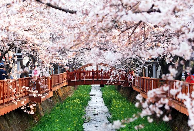 Spring Flower Festivals in Korea scenic