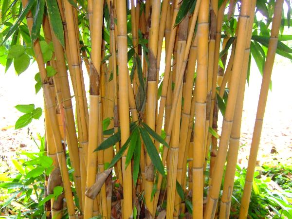 himalayan flower nursery golden bamboo or phyllostachys. Black Bedroom Furniture Sets. Home Design Ideas