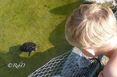 Sköldpadda i vatten och pojke på land tittar på varandra. foto: Reb Dutius