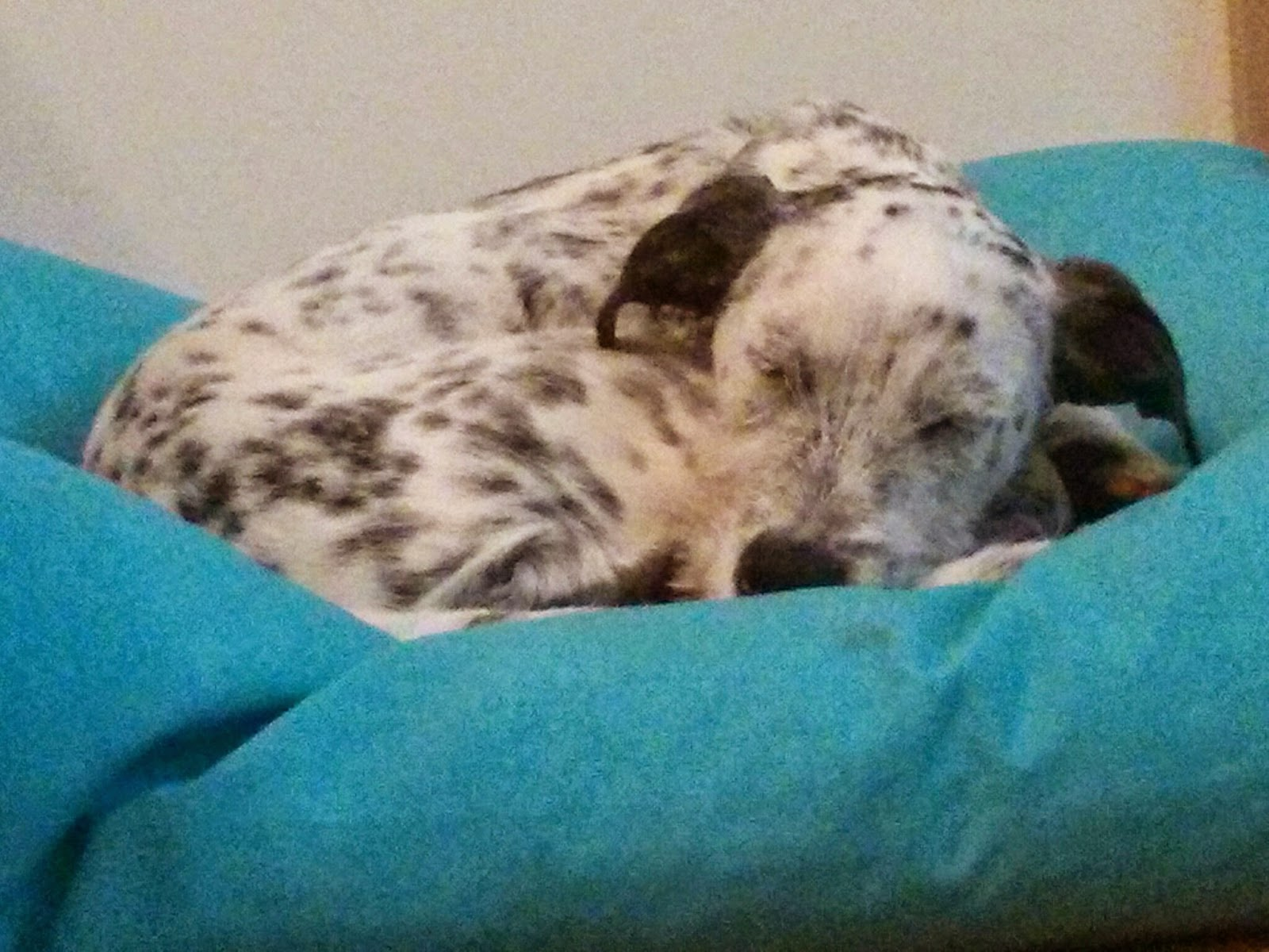 sleepy spotty dog
