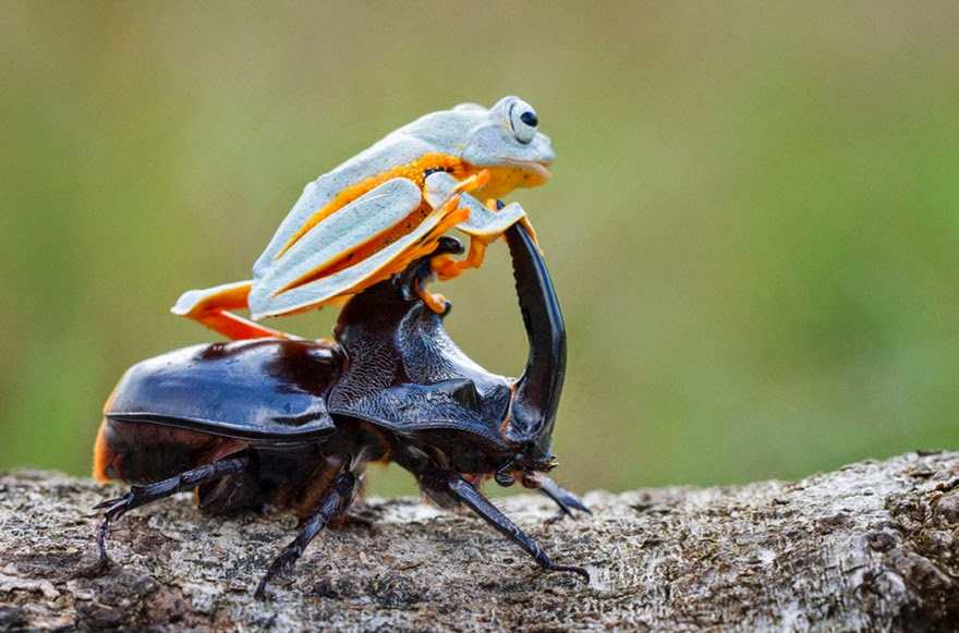 cowboy frog riding beetle animal photography-7