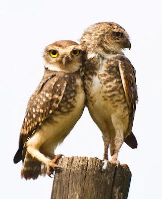 casal de coruja buraqueira - foto de Silvio Serrano
