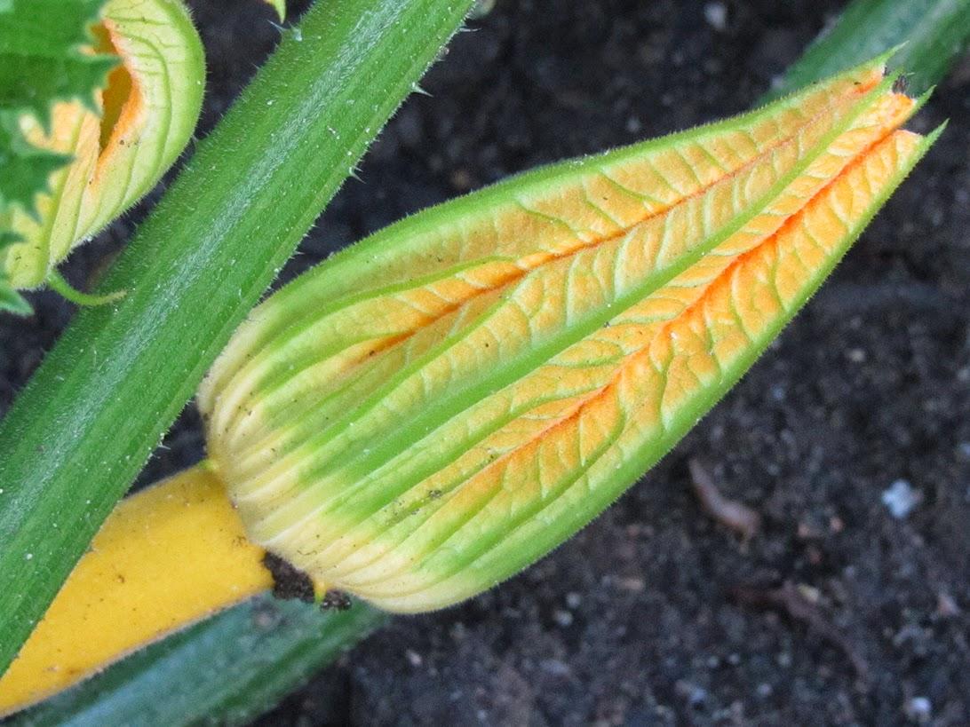 yellow zucchini bud