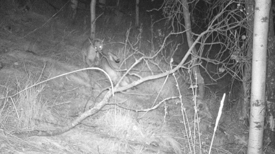 Lac Le Jeune - Life In Our Community: Cougar in the ...