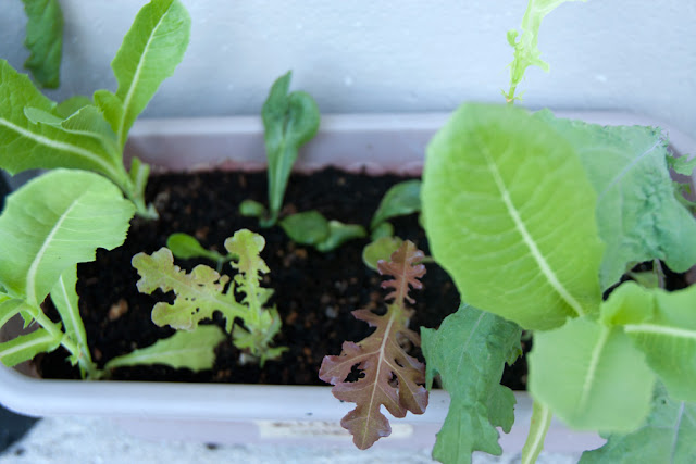 91-day-old mesclun