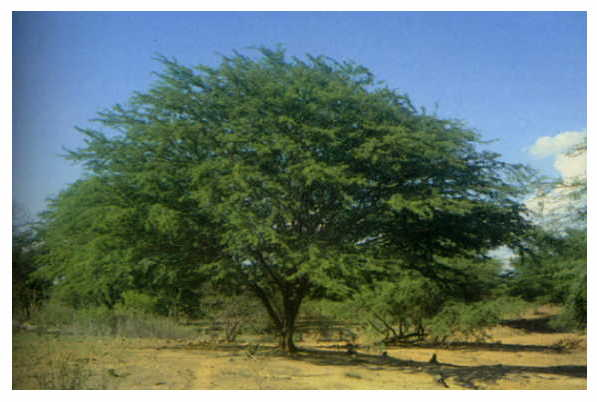 Legado cultural nacional flora chilena for Poda de arboles zona sur