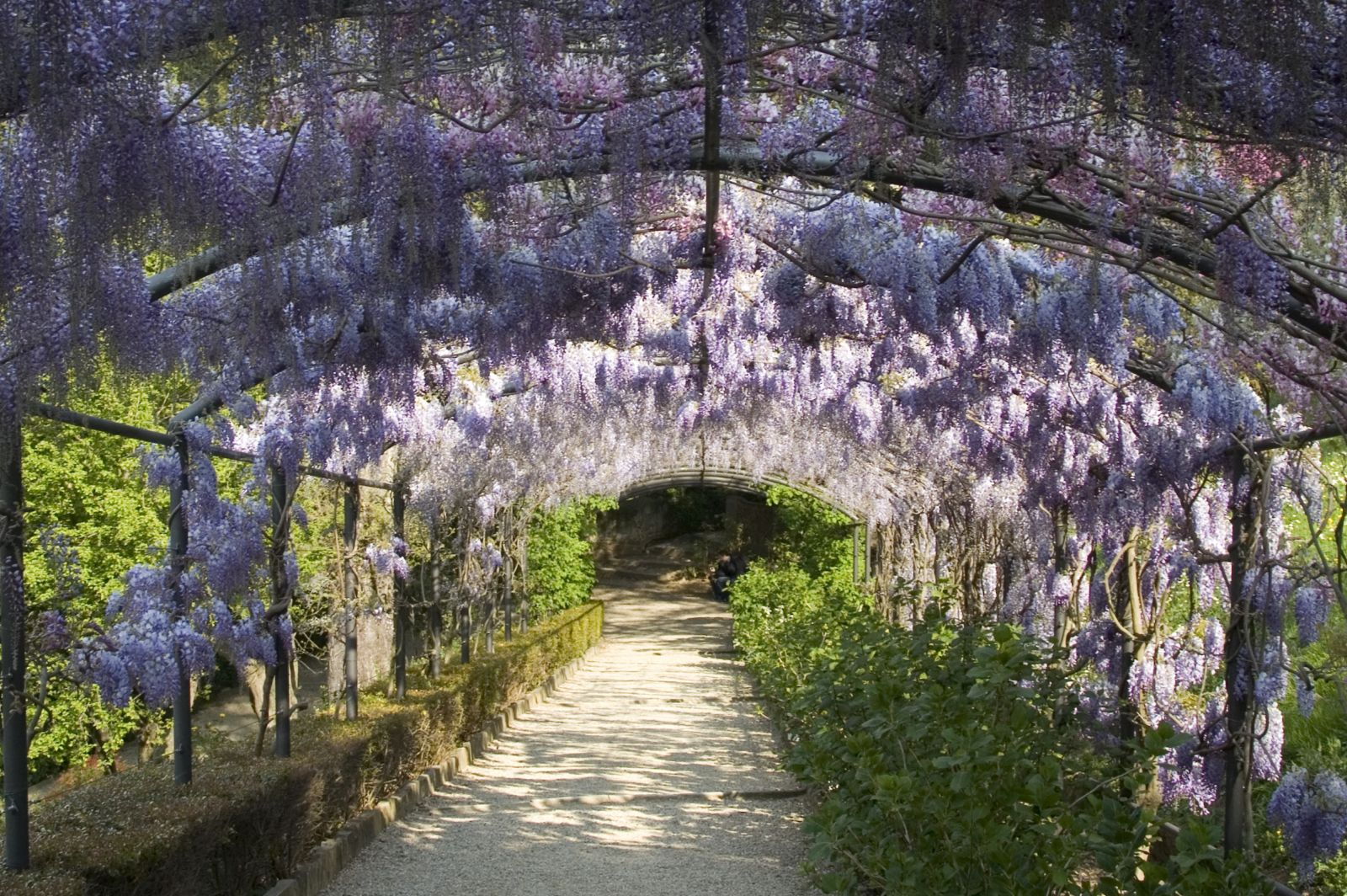 Temperate climate permaculture permaculture plants wisteria for The wisteria