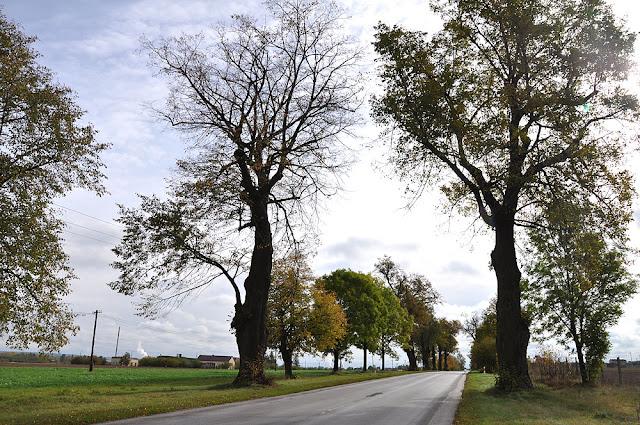 Modliszewice koło Końskich (miejscowi nazywają to miejsce Lipy). Dawna, historyczna aleja lipowa; pozostało kilkanaście drzew. Widok od strony zachodniej. Fot. KW.