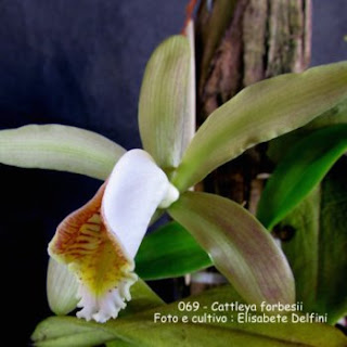 Cattleya forbesi do blogdabeteorquideas