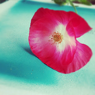 Red, White and Blue: a Beautiful Poppy for the 4th of July