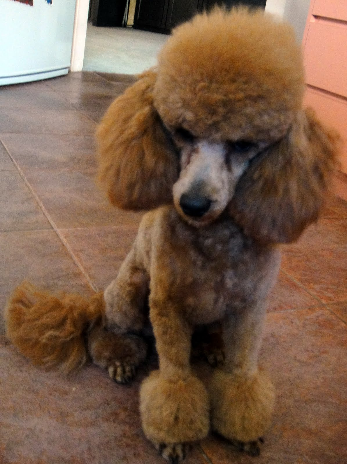 Lumpy Custard Humphrey The Toy Poodle Who Never Looks Happy In