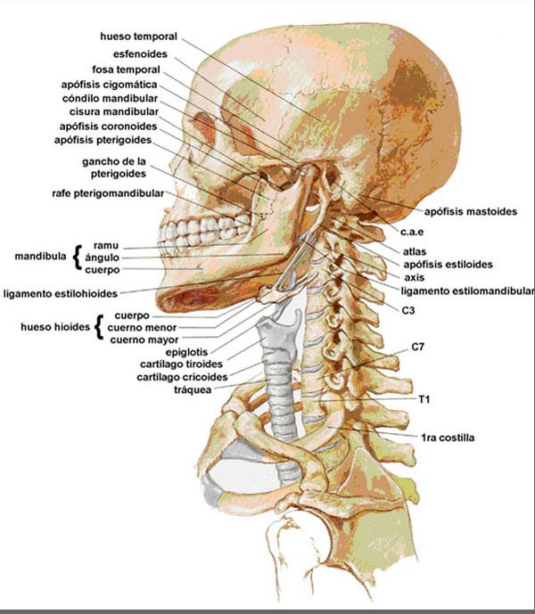 Los dolores en el cuello y la cabeza en la posición horizontal