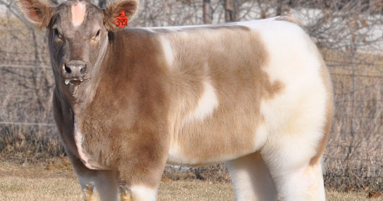 Crystal Cattle I Have Fluffy Cows Too