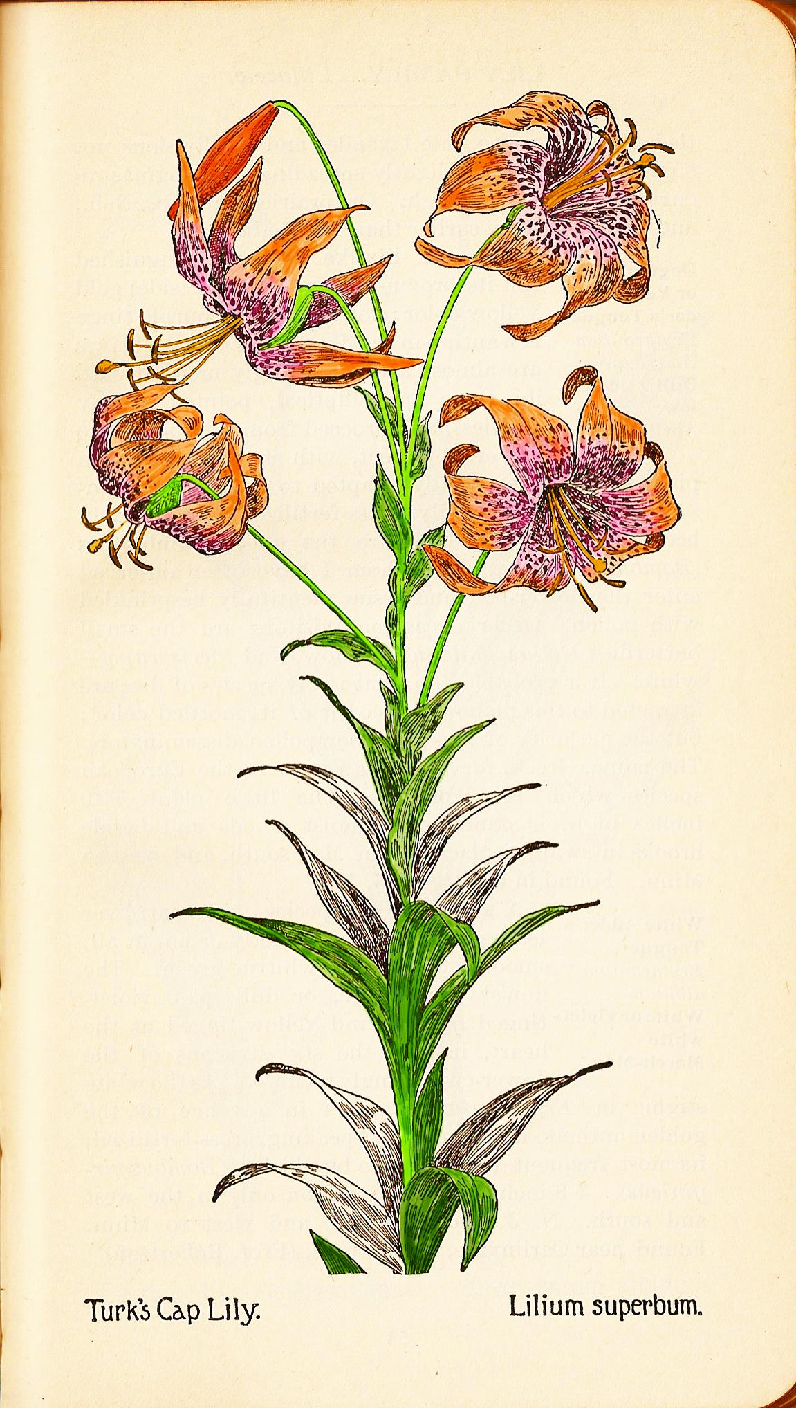Cap lily 2