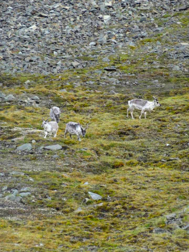 Arctic Flora and fauna. Short legged reindeers Svalbard and Jan Mayen