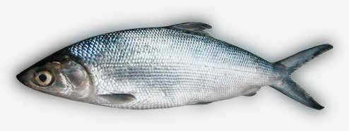 Bangus or Milkfish